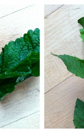 120910 lemon balm mint comparison
